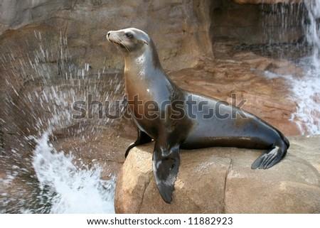 Sea Lion on rock with splashing water - stock photo