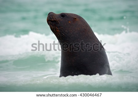 Sea lion, Otaria flavescens, in the water. Sea lion in the ocean waves. Wildlife scene with Sea lion. Detail portrait of Sea lion. Beautiful animal on the ocean beach. Sea lion from the nature habitat - stock photo