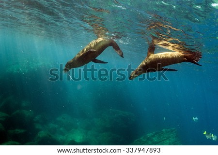 sea lion puppy underwater coming to you to have fun and play - stock photo