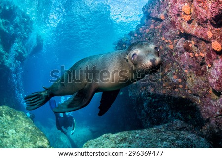 sea lion puppyunderwater coming to you to have fun and play - stock photo