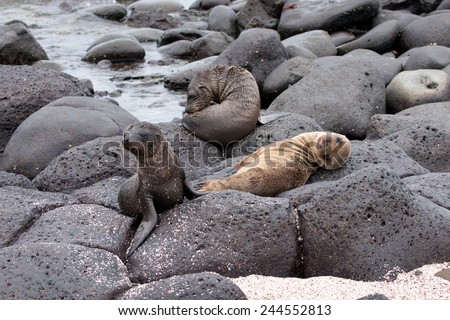 Sea lion pups resting on lava rocks on North Seymour beach in Galapagos Islands, Ecuador  - stock photo