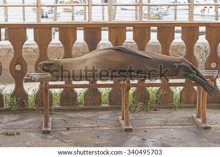 Sea Lion Resting on a Park Bench on San Cristobal Island in the Galapagos - stock photo