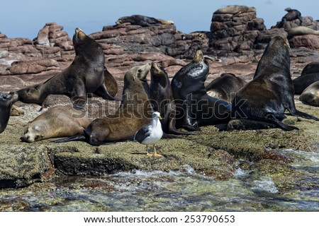 sea lion seals while relaxing on rocks - stock photo