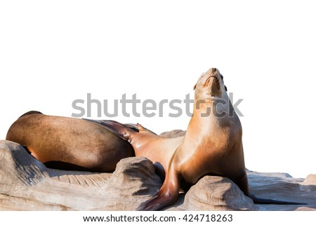 Sea lion sleeping on large stone isolated on white background. Object with clipping path - stock photo