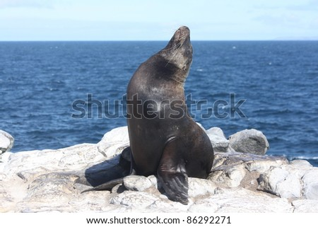 Sea lion stretches and strikes a pose for the camera in the Galapagos Islands with the Pacific Ocean in the background - stock photo