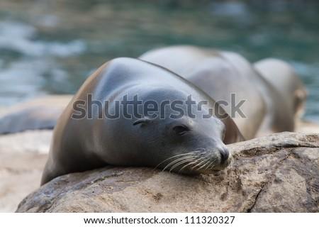 Sea Lion takes a nap on rock - stock photo
