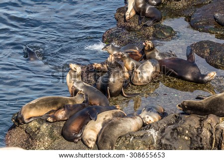 Sea lions at La Jolla cove, a neighborhood of San Diego in California. Seals resting on the rocks. - stock photo