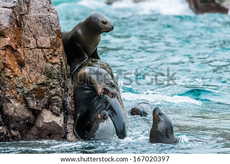 Sea lions fighting for a rock in the peruvian coast at Ballestas islands Peru - stock photo
