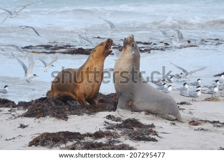 Sea Lions Fighting on the Beach - stock photo