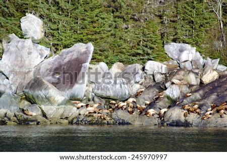Sea Lions in Alaska - stock photo