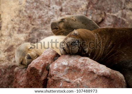 Sea Lions on Red Rock - stock photo