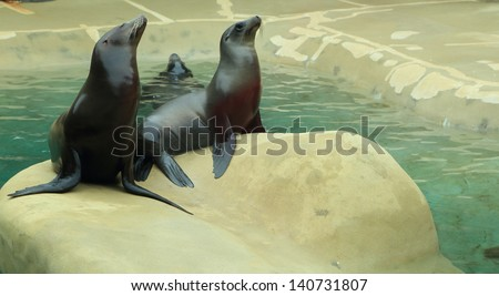 Sea lions sitting on a rock - stock photo