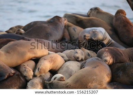 Sea Lions sleeping and dreaming - stock photo