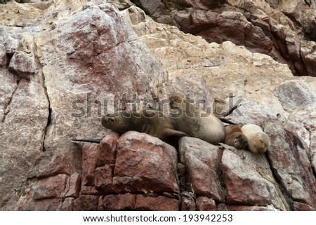 Sea Lions Ushuaia sleeping on Peruvian coast - stock photo