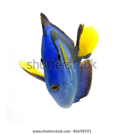 sea marine , blue tang fish isolated on white background - stock photo