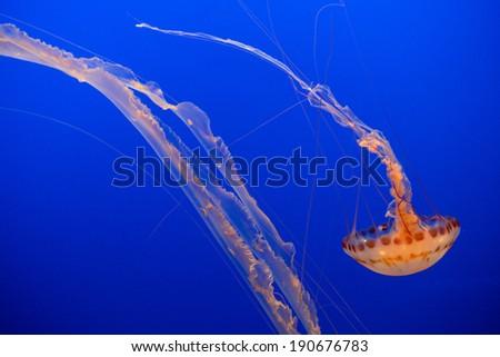 Sea Nettle Jellyfish - stock photo