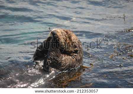 sea otter - stock photo