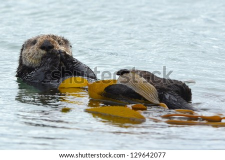 sea otter adult male is seen cleaning his fur with kelp in the ocean on a cold rainy day in big sur, california, united states. similar beaver squirrel possum seaside scene water - stock photo