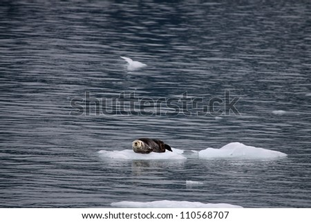 Sea Otter floating on an iceberg. - stock photo