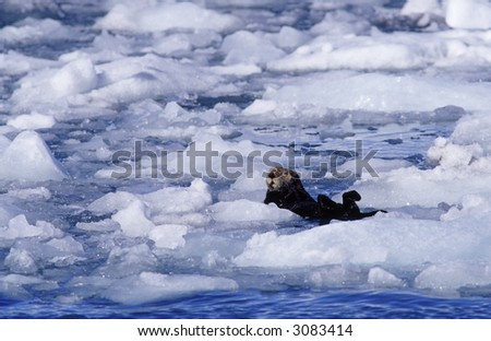 Sea otter in the ice. - stock photo