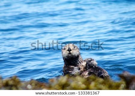 sea otter near the coast  Commander Islands - stock photo