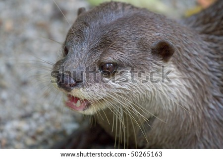 Sea Otter opens it mouth - stock photo