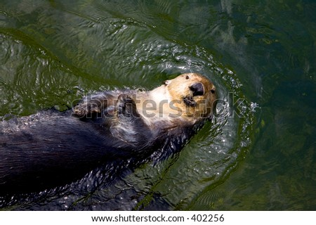 Sea otter swimming - stock photo