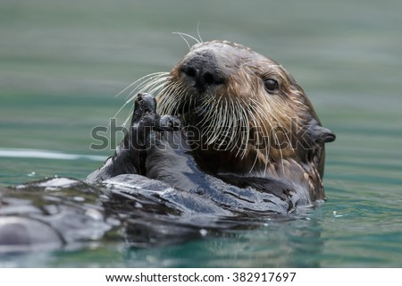 Sea otter swimming in blue ocean water - stock photo