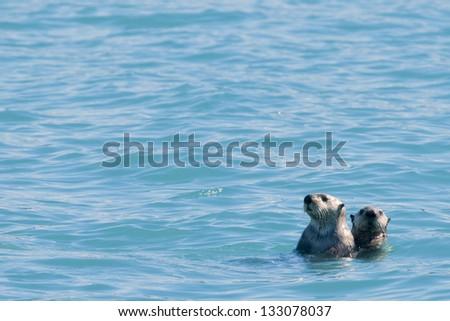 Sea otter swimming in Prince William Sound, Alaska - stock photo