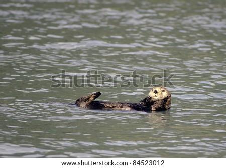 Sea otter swimming in Resurrection Bay Alaska. - stock photo