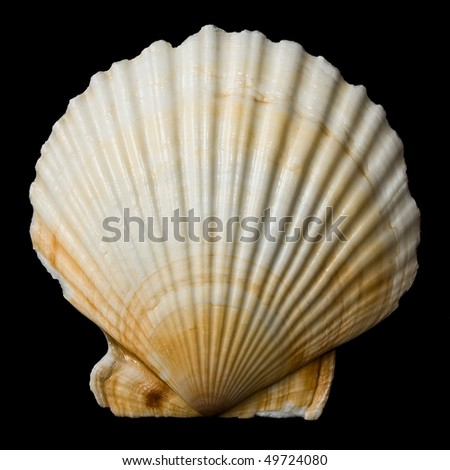 Sea shell isolated on black background - stock photo