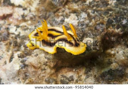 Sea Slug _ Chromodoris colemani - stock photo