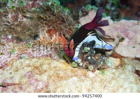 Sea slug _ Nembrotha chamberlaini nudibranch - stock photo