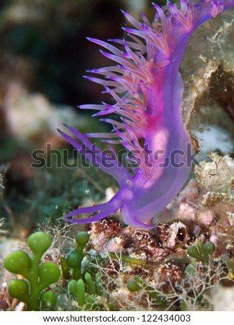 Sea slug, Nudibranch (Flabellina affinis) - stock photo