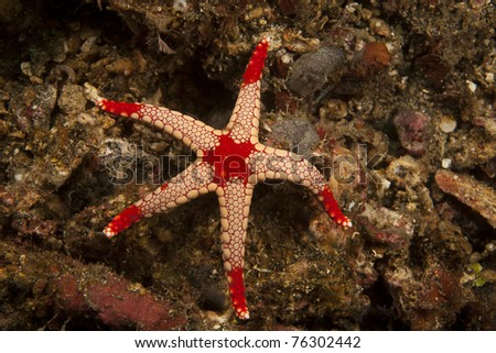 Sea Star (Fromia monilis) on a tropical coral reef in the Lembeh Strait in North Sulawesi, Indonesia. - stock photo