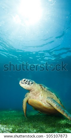sea turtle deep underwater on seaweed - stock photo