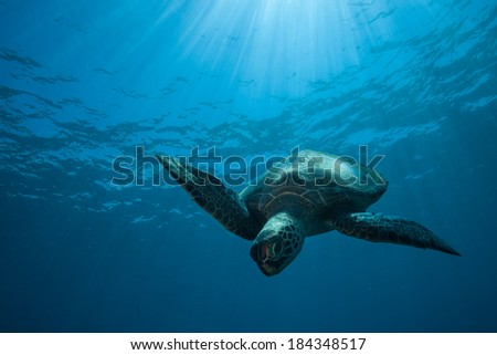 Sea Turtle diving down bathed in sun rays - stock photo