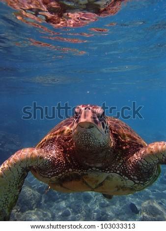 Sea turtle face swimming in ocean - stock photo