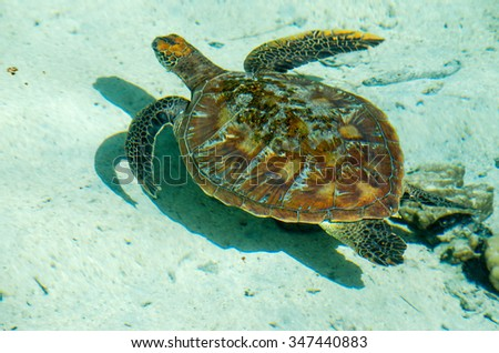 Sea Turtle floating in the turquoise lagoon of Moorea, French Polynesia - stock photo
