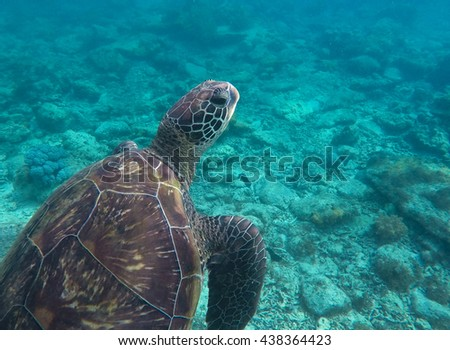 Sea turtle in blue water, big turtle in ocean, close up sea turtle, green turtle swimming in sea portrait, summer vacation photo, snorkeling with sea animals, big sea turtle, sea weeds eating turtle - stock photo