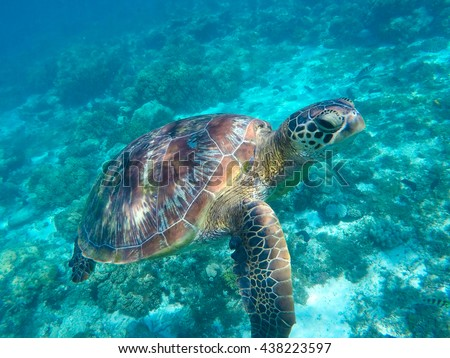 Sea turtle in blue water. Green sea turtle close photo. Lovely sea turtle closeup. Green turtle swimming in the sea. Snorkeling with turtle. Philippines snorkeling spot - Apo island. Tropical sea life - stock photo