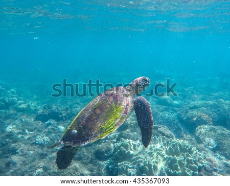 Sea turtle in blue water. Green sea turtle swimming in the ocean. Image of rare marine animal - green turtle. Green turtle in coral reef. Blue sea and sea animal. Snorkeling and diving with sea turtle - stock photo