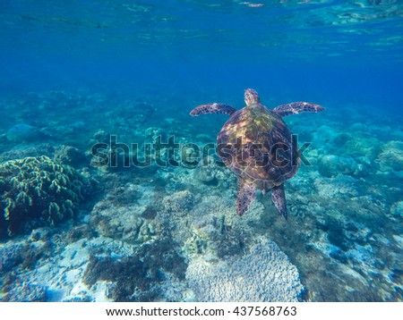 Sea turtle in blue water. Green turtle in coral reef. Blue sea and lovely sea animal. Snorkeling and diving with sea turtle. Sea turtle swimming underwater photo for background with place for text.  - stock photo