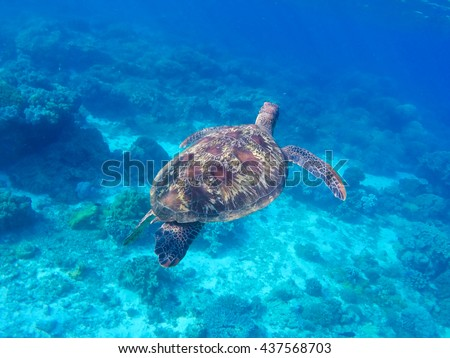 Sea turtle in blue water. Green turtle in coral reef. Blue sea and sea animal. Snorkeling and diving with sea turtle. Green sea turtle swimming in the ocean. Green turtle from the back shell - stock photo