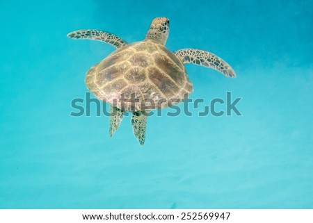 Sea turtle is swimming in the hot sea of Seychelles - stock photo