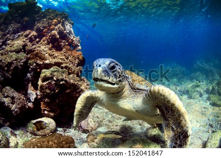 Sea turtle resting amongst volcanic rocks underwater in the Galapagos Islands - stock photo