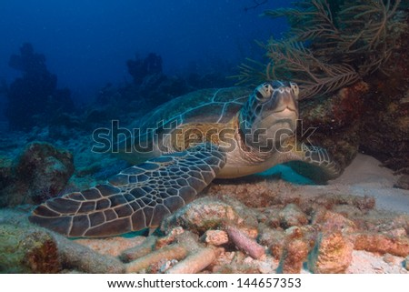 Sea turtle resting in the coral reefs of the caribbean sea, Riviera Maya. Mexico - stock photo