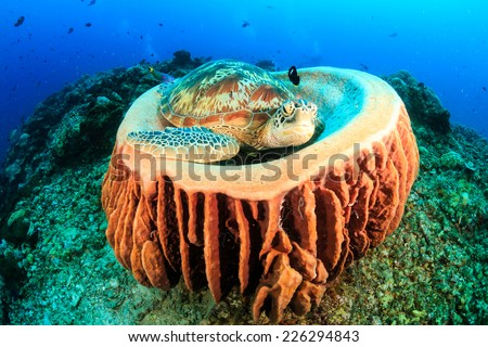 Sea Turtle sleeping on a barrel sponge on a tropical coral reef - stock photo