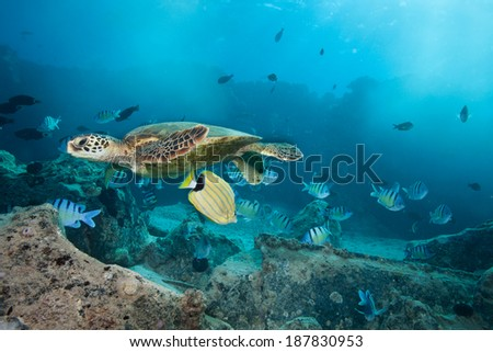 Sea Turtle Surrounded by Fish - stock photo