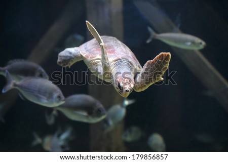 sea turtle swimming at the zoo - stock photo